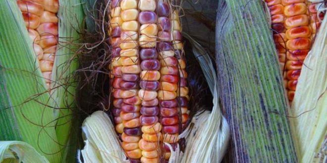 Ley de variedades vegetales «criminaliza intercambiar semillas campesinas», Red en Defensa del Maíz